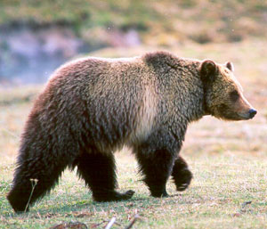 Grizzly Bear Yellowstone by Kim Keating, USGS